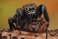 Saltarinas 1 (JAVIOT) Tags: salticidae stacking macroextremo canon componons naturaleza spider balmaseda