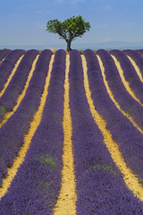 2018-07-13_11-30-50 (fp76.it) Tags: valensole france francia tree lavanda violet colorful colors provence provenza lines row vanishingpoint simmetry texture landscape matchpointwinner mpt646