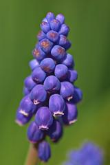 Grape Hyacinth (pstenzel71) Tags: blumen natur pflanzen samyang100mm28macro traubenhyazinthe hyacinth grapehyacinth muscari flower spring frühling darktable bokeh samsungnx