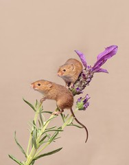Bil and Ted versus the Lavender (Chris Willis 10) Tags: harvestmice animal cute small fluffy rodent younganimal nature looking yellow closeup domesticanimals mouse nopeople mammal fur