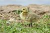 Canada Goose (Tommy Quarles) Tags: canada goose gosling lexington cemetery fayette county kentucky ky canon 7d mark ii bird