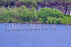 629 - Bastia au bord de la lagune (paspog) Tags: bastia lagune corse corsica france mai may 2018 mouettes seagulls poteaux sticks