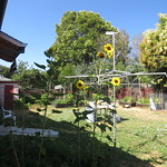 backyard sunflowers 7 17 18 thumbnail