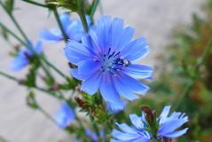 Die Blaue Blume (ivlys) Tags: darmstadt park rosenhöhe wegwarte cichoriumintybus commonchicory blau blue blume flower natur nature makro macro insekt insect ivlys