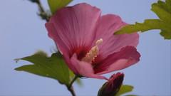 rose of sharon on blue (jrmcmellen) Tags: