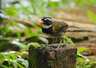 Orange-billed Sparrow --- Arremon aurantiirostris