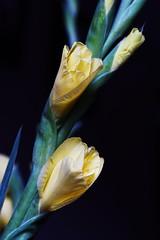 DSC_0647 Gladioli (PeaTJay) Tags: nikond750 sigma reading lowerearley berkshire macro micro closeups gardens indoors nature flora fauna plants flowers gladioli