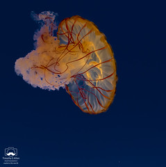 Sea Nettle (allentimothy1947) Tags: bell califonia chrysaorafuscescens pacific aquarium arms beauty colorfuljellyfish float monterey mouth nettles orange red saltwater seanettle stinging tanks water