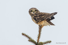 Yeah, well you try this.. (Earl Reinink) Tags: owl raptor outdoors nature bird shortearedowl tree eyes earl reinink earlreinink eiuaeaudha