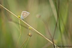 Common blue (Matt Hazleton) Tags: commonblue butterfly insect animal wildlife nature outdoor canon canoneos7dmk2 canon100mm eos 7dmk2 100mm matthazleton matthazphoto macro polyommatusicarus summerleys bcnwildlifetrust northamptonshire