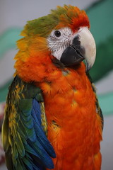 Catalina Macaw 3 (ChrisF Photography) Tags: catalina macaw parrot bird exotic tropical animal beautiful green yellow blue orange hybrid