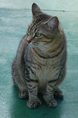 Key West (Florida) Trip 2017 0408Ri 4x6 (edgarandron - Busy!) Tags: florida keys floridakeys keywest cat cats kitty kitties cute feline hemingway hemingwayhome