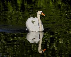 Majestic Splendor (MrBlueSky*) Tags: swan bird animal nature outdoor wildlife colour water kewgardens royalbotanicgardens london pentax pentaxart pentaxlife pentaxawards pentaxflickraward pentaxk1mkii aficionados