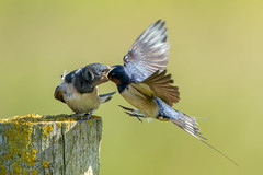 Swallow Feeding Young (Simon Stobart) Tags: swallow feeding young hirundo rustica in flight post northeast england uk