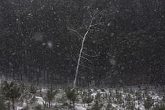 beneath the veil of winter's face IX (Mindaugas Buivydas) Tags: lietuva lithuania color winter january snow snowstorm blizzard tree trees mood moody paneriaiforest paneriųmiškas mindaugasbuivydas forest beneaththeveilofwintersface sadnature