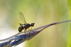 DSC_0677_DxO - Sepside (3mm) sur un brin d'herbe (Berzou) Tags: dipter insect insecte nature naturebynikon fantasticnature macro macrodenaturalezza macrodream macroring sepside