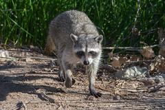 Raccoon- changing his mind (dan.weisz) Tags: raccoon sweetwaterwetlands tucson nikond7200