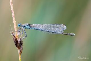 Blaue Federlibelle - Blue Featherleg - Platycnemis pennipes
