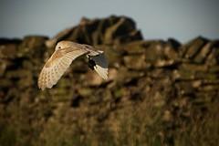 Barn Owl with breakfast for its chick (Gidzy) Tags: barnowl owl hunting rat vole summer nature wildlife birding bird