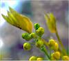 Knospen (magritknapp) Tags: macroorcloseup 7dwf bokeh blatt knospen leaf buds bourgeonsfoliaires brotes foliares folha broto foglio efflorescenze blad knoppen pąki liścia makro