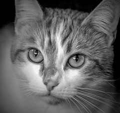 Katniss (Southern Darlin') Tags: cat cats kitty pet pets photography photo portrait animal animals feline eyes closeup bw blackandwhite black white fur face