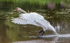 Male mute swan landing (Gary Cantwell) Tags: perth scotland