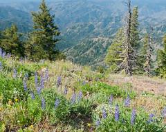 Oregon Butte Wildflowers II (jamesdelbertanderson) Tags: easternwashington inlandnorthwest washington oregonbutte umatillanationalforest wenahatucannonwilderness bluemountains wildflowers lupine