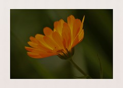 The fire within (hall1705) Tags: thefirewithin flower orange backlight closeup macro flora nature plant highdowngardens westsussex d3200