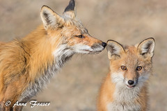 Mother Knows Best (Anne Marie Fraser) Tags: animal mammal redfox fox motherknowsbest kit nature wildlife family