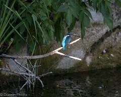 blog180715-2 (DaseinPhoto) Tags: wildlife birds daseinphoto kingfisher rspbryemeads