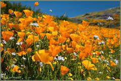California Poppies and Others 3655 (maguire33@verizon.net) Tags: californiapoppy asteraceae eschscholziacalifornica goldfield lastheniacalifornica orange poppy wildflower wildflowers yellow hemet california unitedstates us