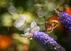 Happy Hour (ursulamller900) Tags: diaplan28100 grosesochsenauge kohlweisling pierisbrassicae maniolajurtina bokeh mygarden sommer sommerflieder butterfly schmetterling insekt