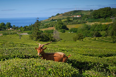 Weed Control @ Gorreana Tea Fields, Sao MIguel Island, Azores, Portugal #Azores #Portugal