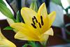 Lily's avatar (Pensive glance) Tags: lily lilium lys fleurdelys flower fleur plant plante