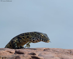 Juvenile Water Monitor (leendert3) Tags: leonmolenaar southafrica krugernationalpark wildlife nature reptiles watermonitor ngc coth coth5 npc