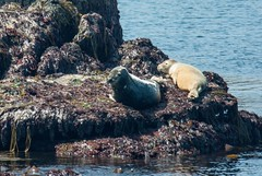 Archipel des Sept-Iles (Côtes d'Armor) (PierreG_09) Tags: bretagne perrosguirrec archipeldesseptiles septiles ile faune phoquegris halichoerusgrypus veaumarin