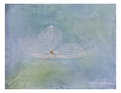 Skeletonized Hydrangea Flower (angeladj1) Tags: skeletonized hydrangea textures