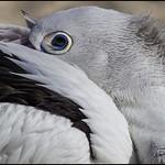 Pelican on Bribie Is beach-02= thumbnail