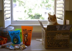 Our Nuts.com order arrived today. (rootcrop54) Tags: jimmy orange ginger tabby male cat nutscom delivery box neko macska kedi 猫 kočka kissa γάτα köttur kucing gatto 고양이 kaķis katė katt katze katzen kot кошка mačka gatos maček kitteh chat ネコ kitchen counter