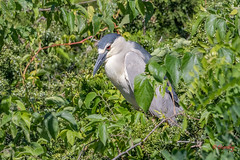 Black-Crowned Night Heron at the Ocean City Rookery (Jersey Camera) Tags: blackcrownednightheron nightheron heron bird birds oceancity oceanrookery rookery