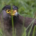 crested serpent eagle - Spilornis cheela thumbnail