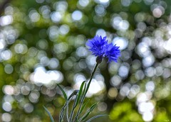 Bokeh and the flower! (Nina_Ali) Tags: bokeh depthoffield nature backlit flora nina ali ninaali
