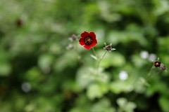 Himalayan cinquefoil/Red Potentilla | Valley of Flowers (arnabchat) Tags: india valleyofflowers valleyofflowersnationalpark unescoworldheritage uttarakhand himalayas mountains hills monsoon flowers blossom dof canon canon6dmkii 35f14l arnabchat flora july2018 2018 himalayancinquefoil rubycinquefoil potentillaargyrophyllavaratrosanguinea potentilla