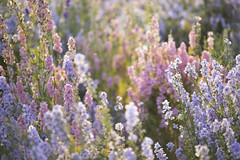 Pastel Dream (Edy Rice Photography) Tags: