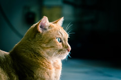 Joey reflects upon his past. (stratman² (busy-taking care of Joey)) Tags: canonphotography eos650d efs55250mmf456isstm littlejoey iso3200 orangecats kitteh chat tabby flickrelite creativecommons kucing comel kittysuperstar catmoments cc100 gato