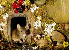 George the garden mouse (Simon Dell Photography) Tags: noticed mouse base garden tree built him small log pile gave it door now 3 mice have moved pop out daily pose for photo we called male george his wife mildred cute animal wild wildlife nature moss logs wood summer flowers berrys berries rodent uk england old english country cards posters fun funny awesome detail close up tame simon dell photography sheffield shirebrook valley s12