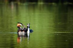 DSC03721 (Jan Netherlands) Tags: wildlifephotography wildlife fuut grebe biesbos biesbosch nature animals