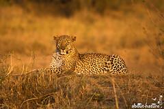 Leopard in Masai Mara (about-nature) Tags: afrika kenia narok masaimara africa kenya leopard animal wildlife cat bigcat grosskatze katze raubtier pantherapardus panthera