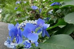 ガクアジサイ (Soem Yoshida) Tags: petals flora hydrangea nature plant