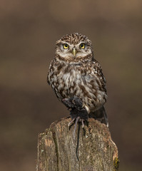 little owl (y.mihov, Big Thanks for more than a million views) Tags: little owl bird animals nature sonyalpha sigma 150500mm outdoor barn feathers fence life trespass travel coutrryside europe england englanduk